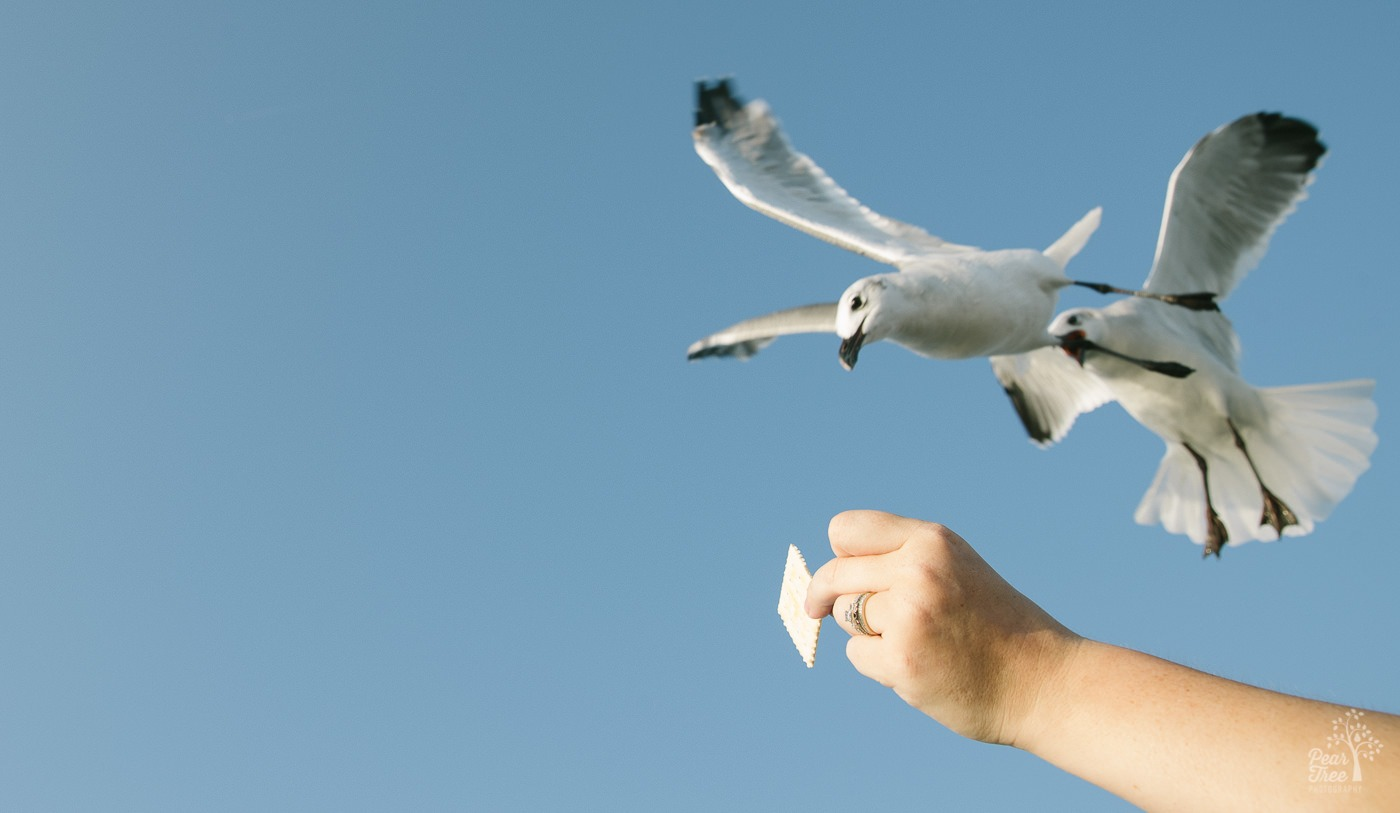 Seagulls flying in to grab a saltine cracker out of a woman's hand.