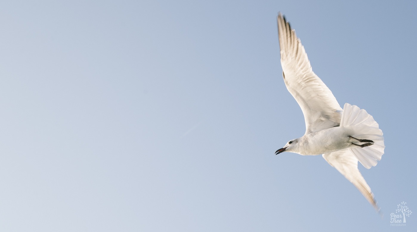 A seagull flying near with its wings and tail outstretched.